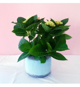 Weekly Special Potted Hydrangea and Peace Lily