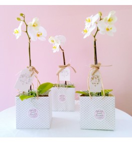 Mini Phalaenopsis Plant with Spanish Moss