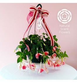 Hanging Fuchsia with Christmas Ribbon and Angel