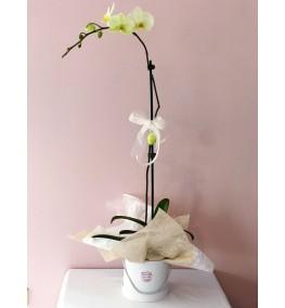 Lime cream Phalaenopsis plant