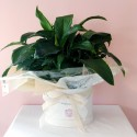 Large Peace Lilies
